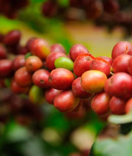 Costa Rica koffiebessen