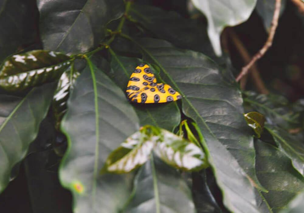 Brasil - Buenos Dias - Vlinder